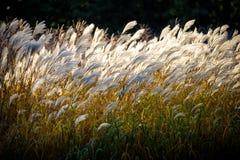 Selekcyjna miękka ostrość plażowa sucha trawa, płochy, badyle dmucha w wiatrze przy złotym zmierzchu światłem, horyzontalny, zama fotografia stock