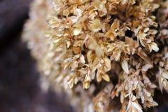 Selekcyjna ostrość brązów suchy krzak dojrzewający ziarna zamyka w górę zdjęcie royalty free