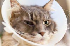 Selekcyjna ostrość chory kot z weterynaryjnym rożkiem na swój głowie Obrazy Stock