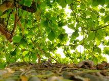 Selekcyjna ostrość jaskrawy niebo s i Indiański Migdałowego drzewa ` rozgałęzia się z zielonymi liśćmi z defocus starym grungy da zdjęcia stock