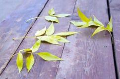 Selekcyjna ostrość na kolor żółty jesieni liści popiółu zbliżeniu Obraz Stock