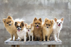 Selekcyjna ostrość na małym ciała brązu chihuahua psie i jego rodzinie Obraz Royalty Free