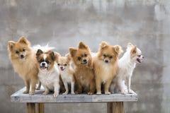 Selekcyjna ostrość na małym ciała brązu chihuahua psie i jego rodzinie Zdjęcia Royalty Free
