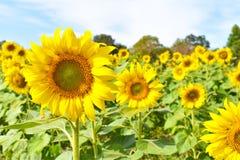 Selekcyjna ostrość na okwitnięcie słonecznikach w plantacji polu z niebieskiego nieba tłem w słonecznym dniu zdjęcie royalty free