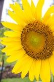 Selekcyjna ostrość na pojedynczym słoneczniku z biedronką na nim Obrazy Royalty Free