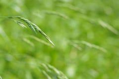 Selekcyjna ostrość na traw ziarnach Fotografia Stock