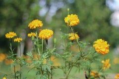 Selekcyjna ostrość nagietków kwiaty zdjęcia stock