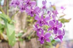Selekcyjna ostrość purpurowa orchidea kwitnie w ogródzie Zdjęcie Royalty Free