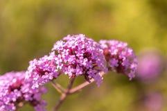 Selekcyjna ostrość purpurowy fiołkowy kwiat Fotografia Stock
