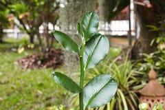 Selekcyjna ostrość zielony drzewo opuszcza z rozmytym tłem zdjęcie stock