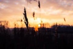 Selekcyjnej miękkiej ostrości sucha trawa, płochy, badyle dmucha w wiatrze przy złotym zmierzchu światłem, horyzontalny, zamazany zdjęcie royalty free
