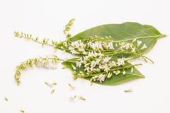 Selekcyjnej ostro?ci chi?czyka r??y kwiat Spinosum lub Citharexylum kwitniemy dalej odizolowywamy bia?ego t?o Pospolici imiona za zdjęcie stock