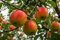 Selekcyjnej ostrości Czerwoni jabłka na gałąź Fotografia Stock