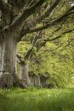 Selekcyjnej ostrości krajobraz bukowego drzewa aleja w Angielskim landsc Obraz Stock