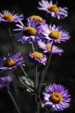Selekcyjni kolor góry kwiaty Obraz Stock