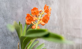Selektiv blomma för orkidéblommafokus på väggbakgrund Arkivbild
