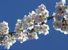 selektiv blomningCherryfokus Arkivfoto