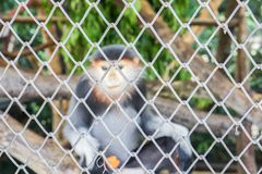 Selektiv fokus av den djura buren med den lilla languren i zoo Royaltyfria Foton