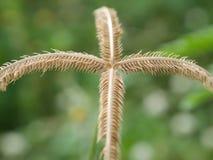 Selektiv fokus av gräsblomman med grön suddig bakgrund Royaltyfria Bilder