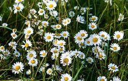 Selektiv fokus av kamomillen Kamomillfältet, kamomill blommar i sommar Royaltyfri Foto