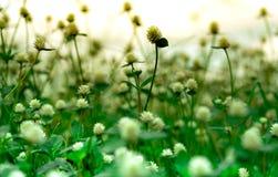 Selektiv fokus på vita blommor i trädgården på suddig bakgrund Vita blommor med gröna sidor Royaltyfria Bilder
