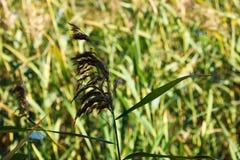 Selektiv mjuk fokus av torrt gräs för strand, vasser, stjälk som blåser i vinden på guld- solnedgångljus royaltyfri foto