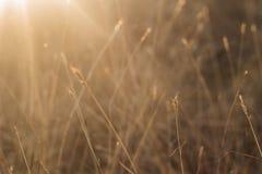 Selektiv mjuk fokus av torrt gräs för strand, vasser, stjälk som blåser i vinden på guld- solnedgångljus, horisontal- suddigt hav arkivfoto