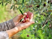 Selektiv samling av oliv i den olivgröna dungen Royaltyfri Bild