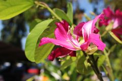 Selektiver Abschluss herauf schöne rosa Blumen von Phanera-purpurea ist Spezies der blühender Pflanze in der Familie Stockbild