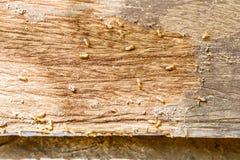 Selektiver Fokus auf der Gruppe von Termiten auf dem Holzfußboden Stockfotos