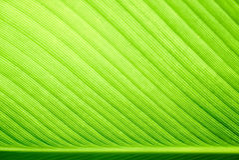 Selektiver Fokus des grünen Bananenblattes Stockfotos