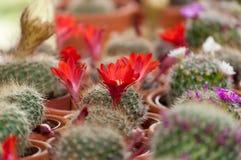 Selektiver Fokus des Kaktusbauernhofes Stockfotografie