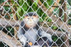 Selektiver Fokus des Tierkäfigs mit kleinem Langur im Zoo Lizenzfreie Stockfotos