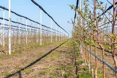 Selektiver Fokus von vier Jahren alten golden deliciousbäumen im Apfelgarten im März, KisaÄ-, Serbien stockbild