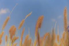 Selektivt fokusera av en gräsblomma Royaltyfri Bild