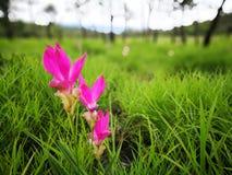 Selektivt fokusera på den Siam tulpanblomman med bakgrund av den gröna ängen i regnskog på molnig dag arkivbilder