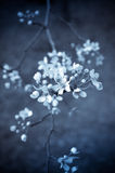 Selen tonte Kirschblüten Lizenzfreie Stockfotos