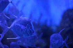 Selena vomer fish in aquarium Stock Images