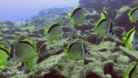 selene Amarelo-pontilhado de Chaetodon dos butterflyfish na ilha de Socorro do arquipélago de Revillagigedo vídeos de arquivo
