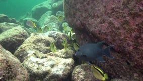 selene Amarelo-pontilhado de Chaetodon dos butterflyfish no mar La Paz de Cortez da ilha do Los Isoletes vídeos de arquivo