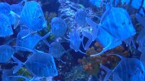 Selene dos peixes do aquário à procura de uma vítima Peixes que nadam lentamente no aquário filme