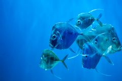 Selene vomer Fische lizenzfreies stockfoto