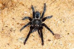 Selenocosmia javanensis tarantula spider Stock Image