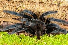 Selenocosmia javanensis tarantula spider Stock Photos