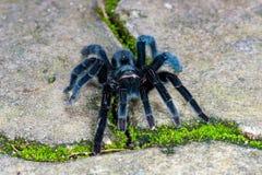 Selenocosmia javanensis tarantula spider Royalty Free Stock Photography