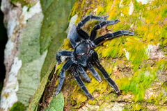 Selenocosmia javanensis tarantula spider Stock Photography
