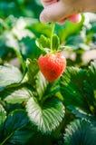 Selezionamento della fragola matura, azienda agricola della fragola Fotografie Stock Libere da Diritti