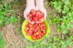Selezionamento della fragola nazionale in giardino Bacche organiche a disposizione immagine stock libera da diritti
