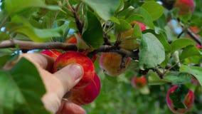 Selezionamento della mela rossa da un albero di estate video d archivio