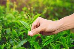 Selezionamento della punta della foglia di tè verde Fotografia Stock